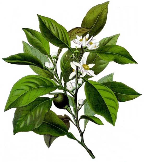 Les vertus des feuilles et des fleurs d'oranger