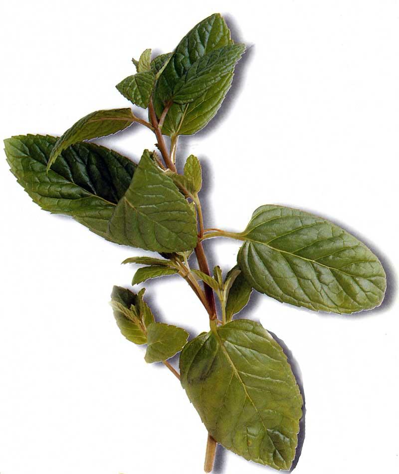 La Menthe, cette herbe magique à l'odeur entètante et subtile