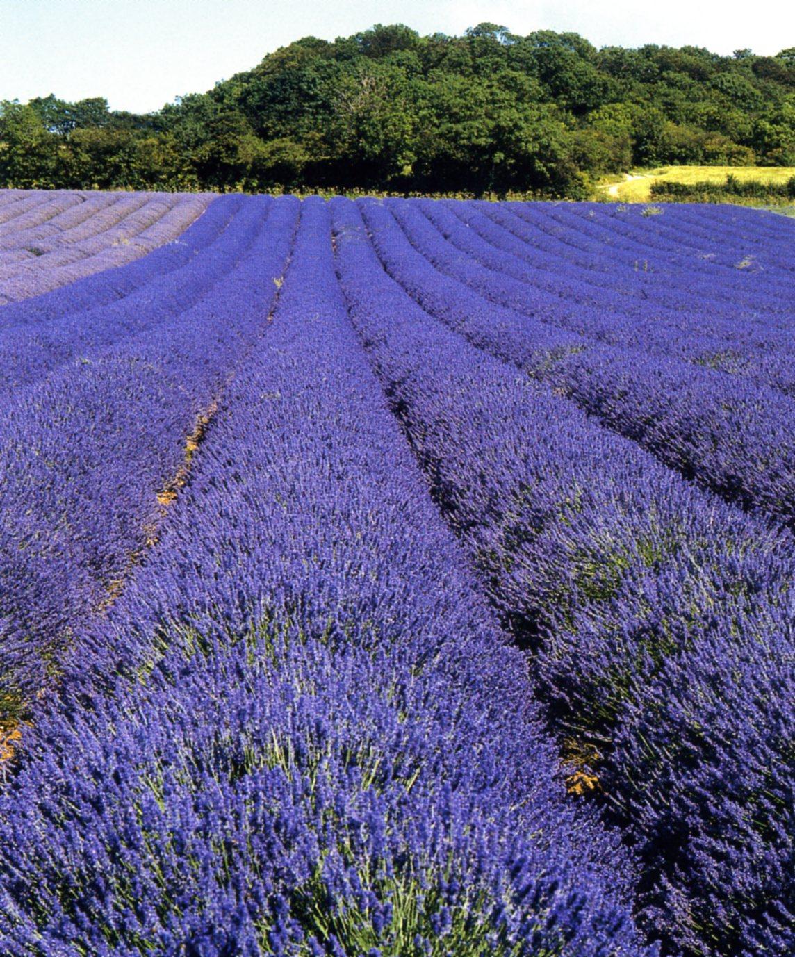 La Lavande, cette merveilleuse plante du Midi en habit bleu
