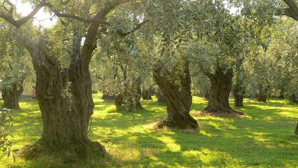 oliviers plantation